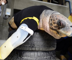 Turtle Receives Artificial Legs